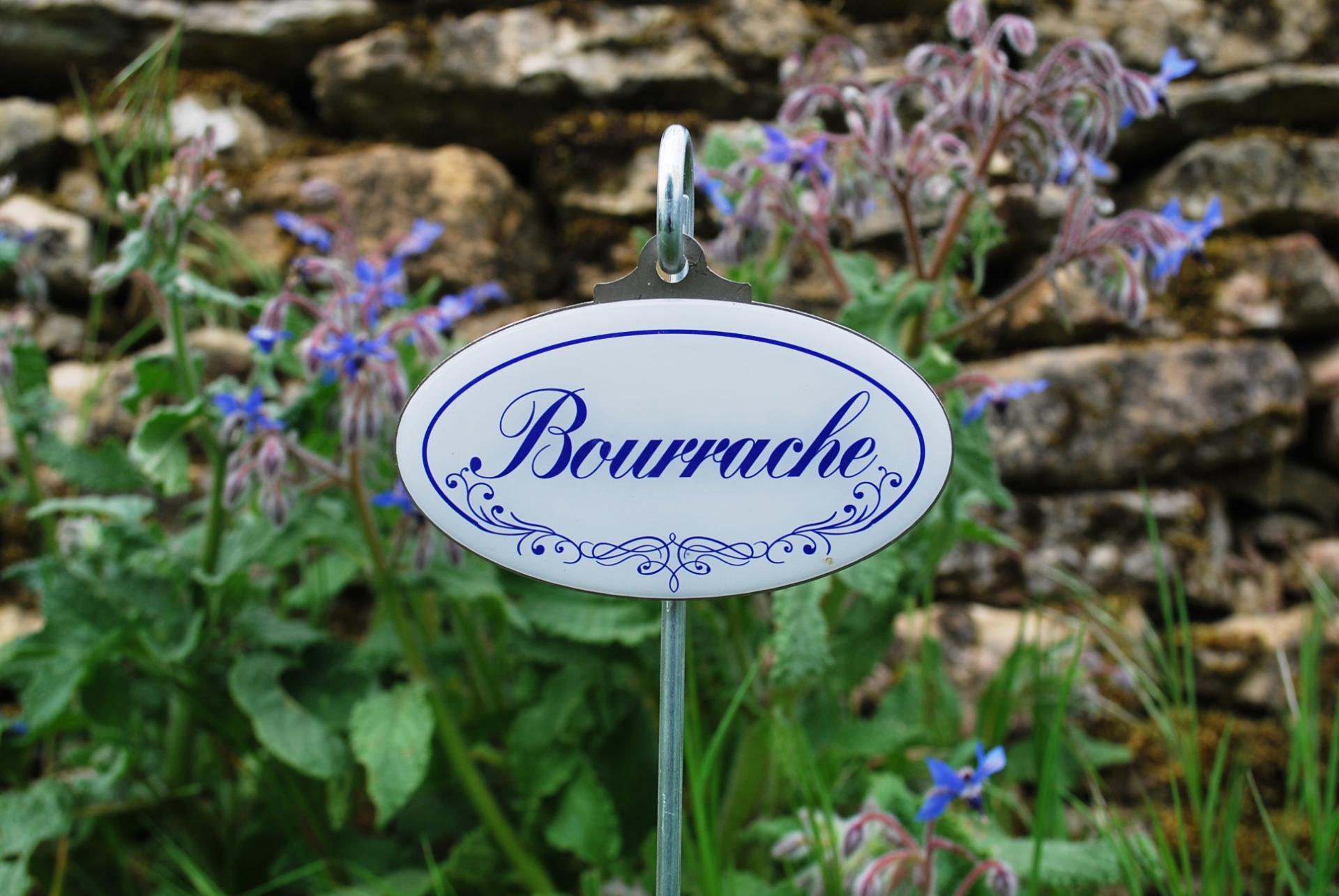 Bourrache bleu zoom